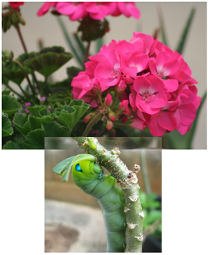 geranium and caterpillar3