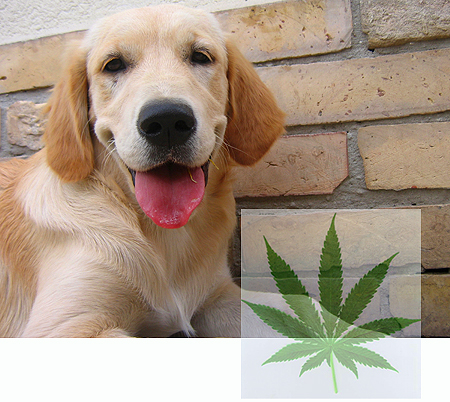 Dog close up and marijuana